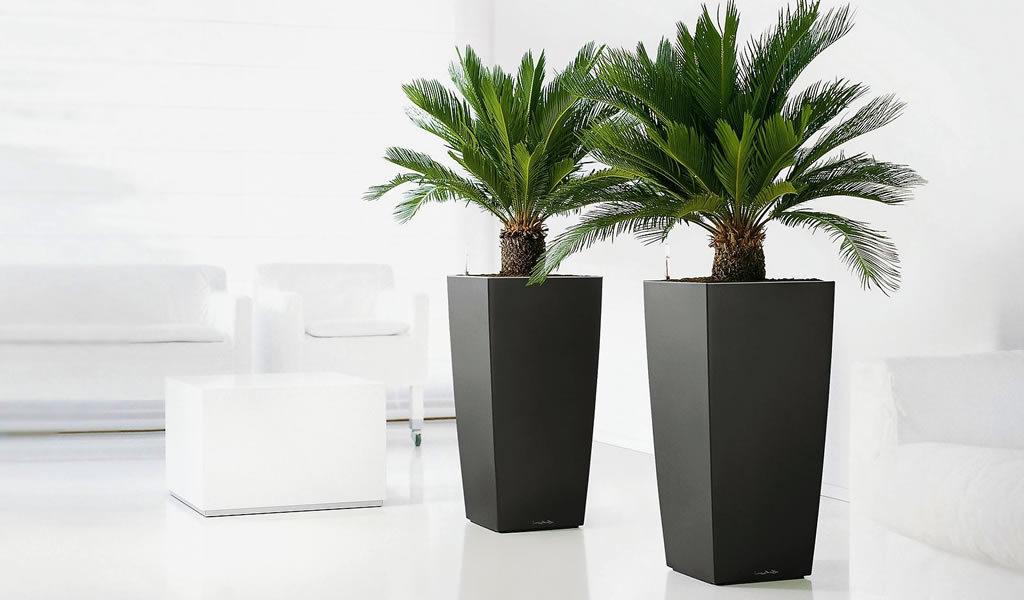 2 King Sago palmen
