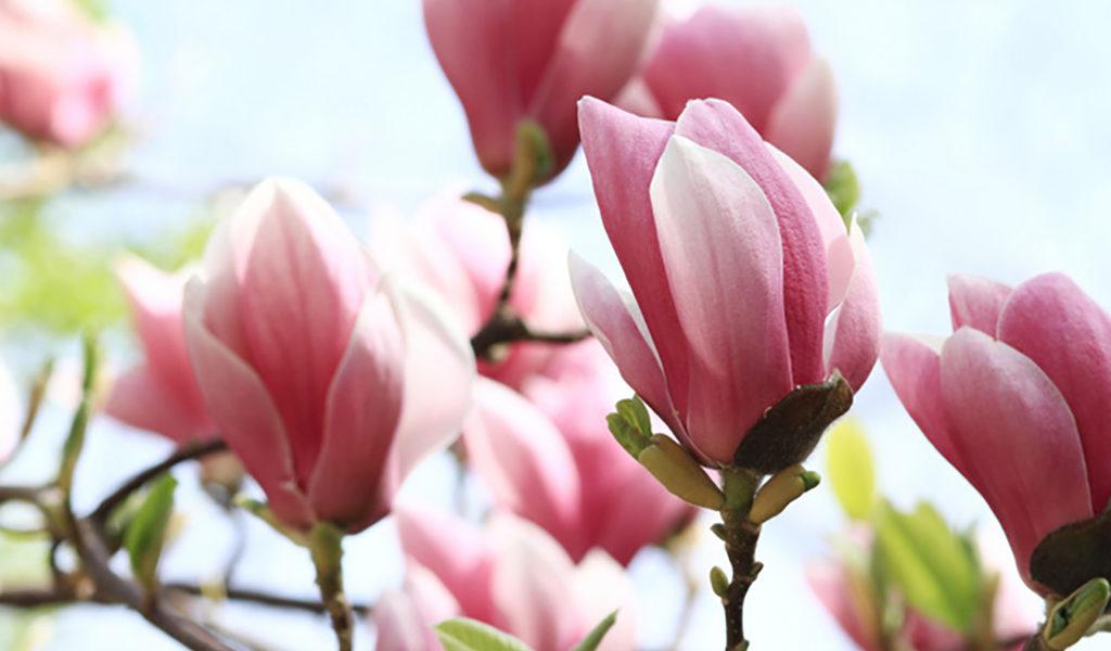 Korting Mix van 3 magnolia s